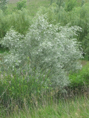 Fast Growing Silver Leaved Trees
